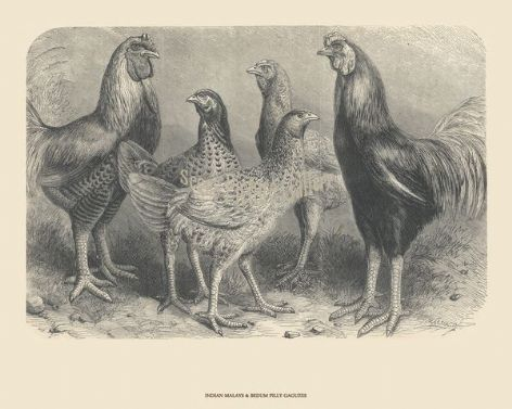 Fine poultry art print of Malays, Indian; by Harrison Weir
